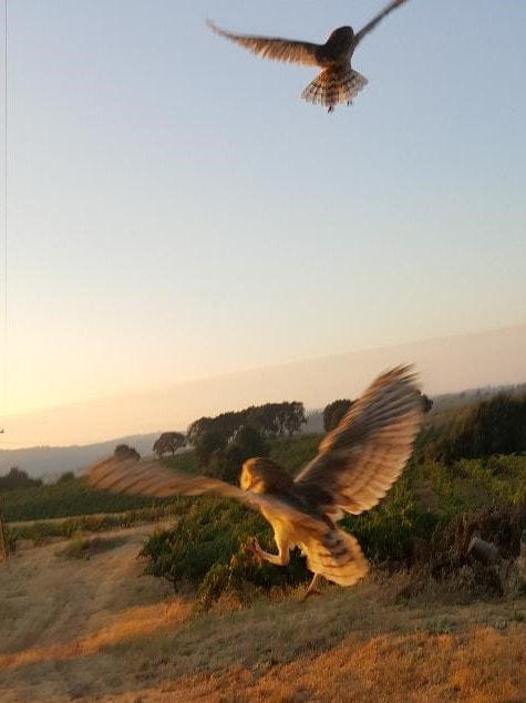 Barn owls in flight after rescue and release with Amador Barn Owl Box Company. Amador County, California