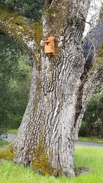 Pic photo Amador Barn Owl Company western bluebird house . Western Bluebird eats bugs including a glassy winged sharpshooter Pierce's disease solution